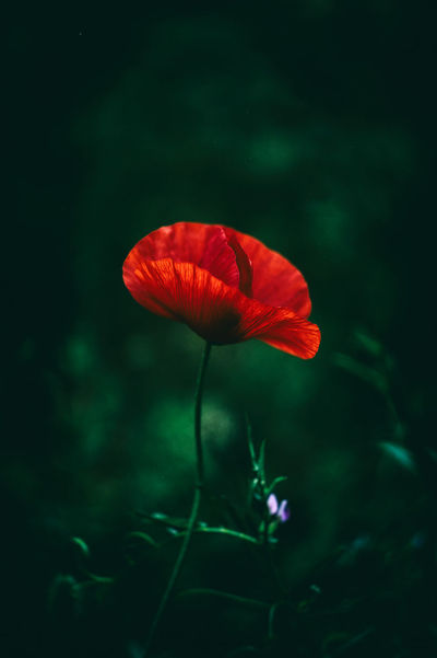 20170529 - Poppy Beauty In Nature Blooming Close-up Day Flower Flower Head Fragility Freshness Growth Hibiscus Nature No People Outdoors Petal Plant Poppy Poppy Day Poppy Field Poppy Fields Poppy Flower Poppy Flowers Poppy Love Poppy Seed Poppyflower Red
