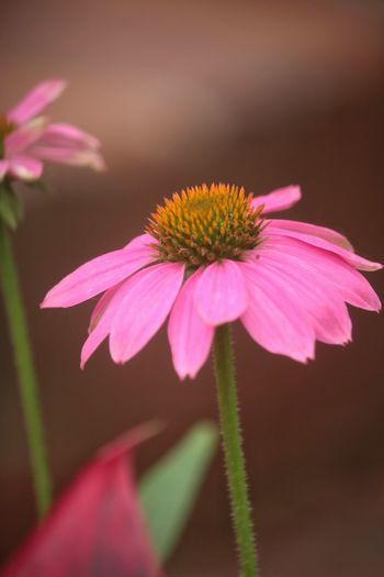 Flowering Plant Flower Freshness Fragility Plant Vulnerability  Pink Color No People Growth Pollen Petal Focus On Foreground Selective Focus Close-up Beauty In Nature Flower Head Coneflower Inflorescence Nature Plant Stem