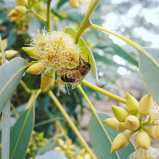 . آخه زنبور جان! شکوفه درخت اکالیپتوس !! خب عسلی که از این شکوفه درست میشه، چی میشه. ما که نخوردیم. تولید کردی یخورده بیار تست کنیم.