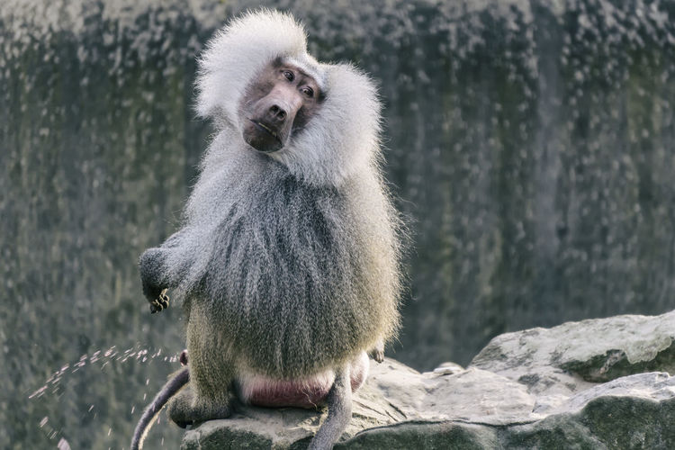 Baboon Sitting On Cliff