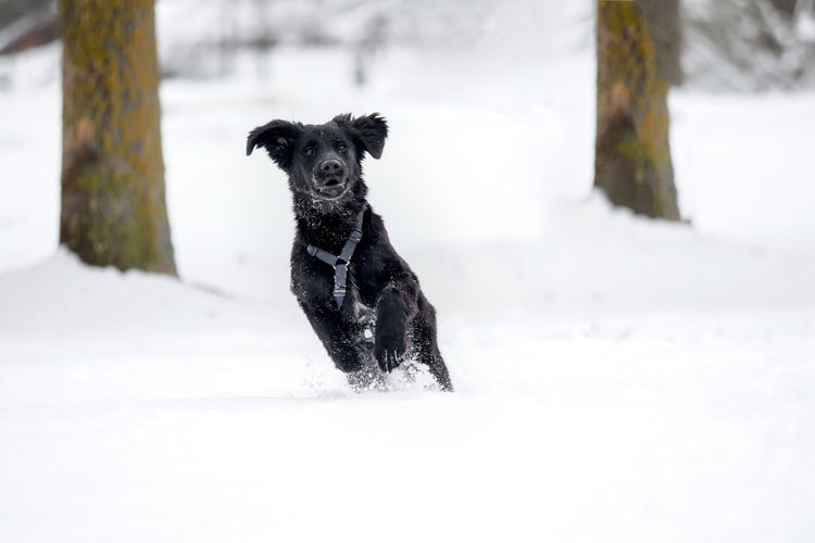 A black puppy is playing in the snow Animal Black Breed Cold Cute Dog Domestic Friend Fur Happy Ice Mammal Nature Obedient Dog Outdoor Outside Pet Playful Puppy Purebred Season  Snow White Winter Canine Pets Domestic Animals Vertebrate One Animal Animal Themes Cold Temperature Land Field Running White Color Portrait No People