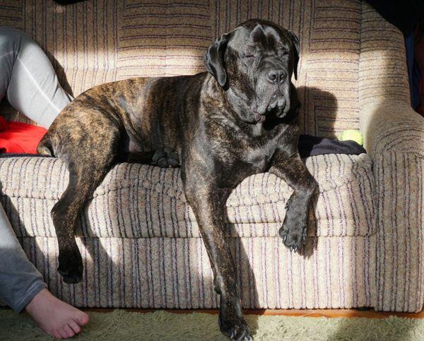Sleeping on duty Bestfriend Guardian Amazing Dog Cane Corso Loved Loyalty Sleeping Nappin