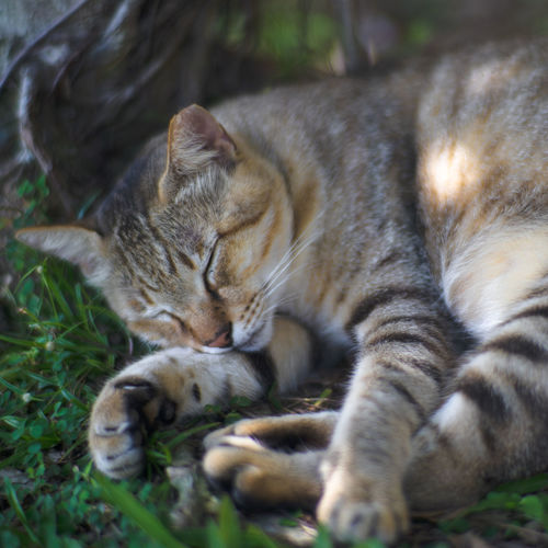 Cat Sleeping in Shade of Tree, with head resting on a Leg Animal Themes Cat Cute Dreaming Ear-tipped Ear-tipping Eyes Closed  Grasses Light And Shadow Lying Down One Animal Pet Relaxation Resting Shades Of Grey Shadow Sleeping Spot Traveling Winter