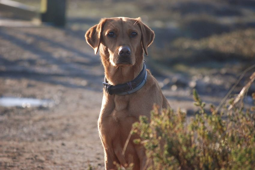 Dog One Animal Pets Domestic Animals Mammal Animal Themes Portrait Looking At Camera Outdoors No People Nature Day Close-up Lab Red Lab Labrador Vizla