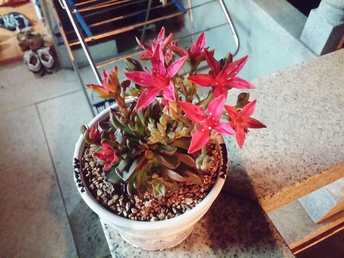 그새 또 꽃이 더 핌!Plants 🌱 다육식물 벨루스