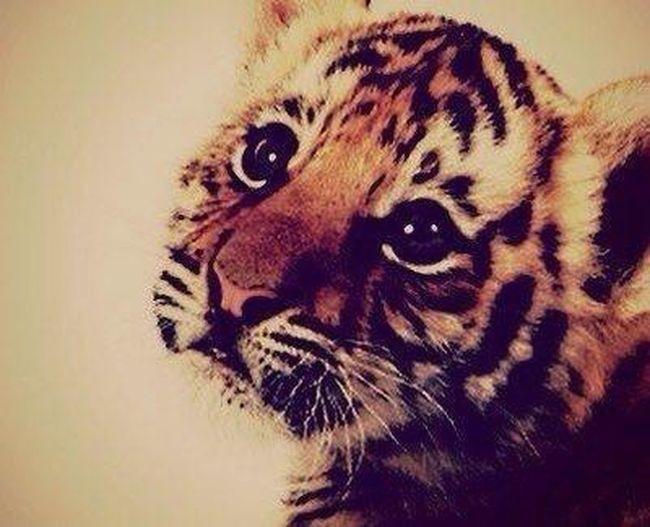 Tiger Roar Cute Love i love this tiger!!