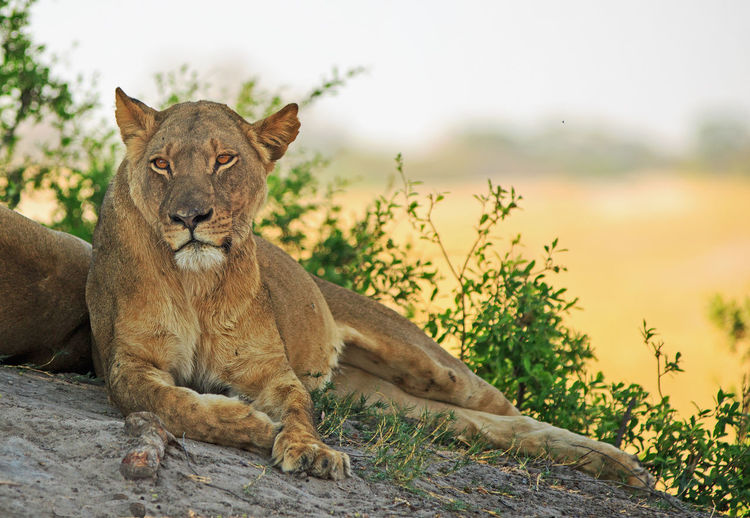 Safari Safari Animals Nature No People Outdoors Hwange National Park Animals In The Wild Natural Beauty Nature Wildlife Photography Animal Themes Feline Mammal Animal Animal Wildlife Lion - Feline Day Cat Lioness Big Cat Big Five One Animal Wilderness Relaxation Resting