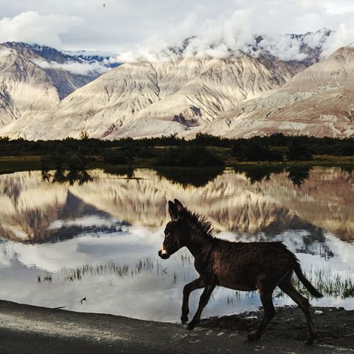 Side view of donkey running at lakeshore against mountain