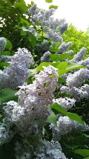 Lilac Flower Flower