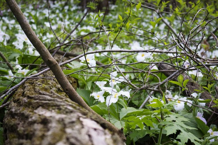 // Branch 🌲🌲 Tree Nature White Color Branch Flower Beauty In Nature No People Day Growth Springtime Outdoors Fragility Plant Forest Close-up Freshness EyeEmNewHere Shot On Canon Canon700D