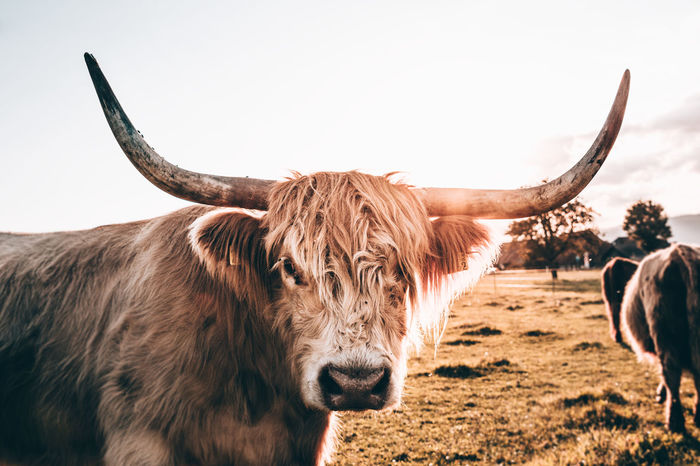 Highland Cattle at Sunset Animal Animal Head  Animal Themes Brown Cattle Cow Domestic Animals Domestic Cattle Field Herbivorous Highland Cattle Horned Livestock Mammal No People One Animal Outdoors Snout Standing Tranquility Zoology