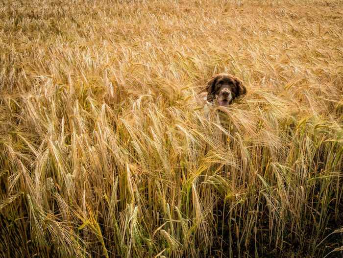 Rory.... Dog Photography Dog Portrait Field Gundogs Outdoors Springer Spaniel Summer ☀ Walk The Dog