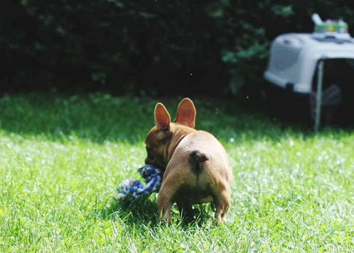Französische Bulldogge  Playing Spielzeug Dog Grass One Animal Animal Themes No People Day Nature Funny Sweet Outdoors Puppy Cute Portrait Hunde Liebe ♡ Welpe EyeEmNewHere