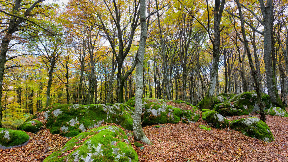 Beech forest in autumn weather, the bare trees and a bed of dry leaves in the path on the ground. The warm colors of autumn in the undergrowth of this great panoramic large-format photograph. Composition of multiple images. Tree Plant Forest Tranquility Land Growth Beauty In Nature Scenics - Nature Nature No People Day Tranquil Scene Green Color Non-urban Scene Landscape WoodLand Environment Trunk Tree Trunk Outdoors Change Stream - Flowing Water Flowing Flowing Water Composite Image