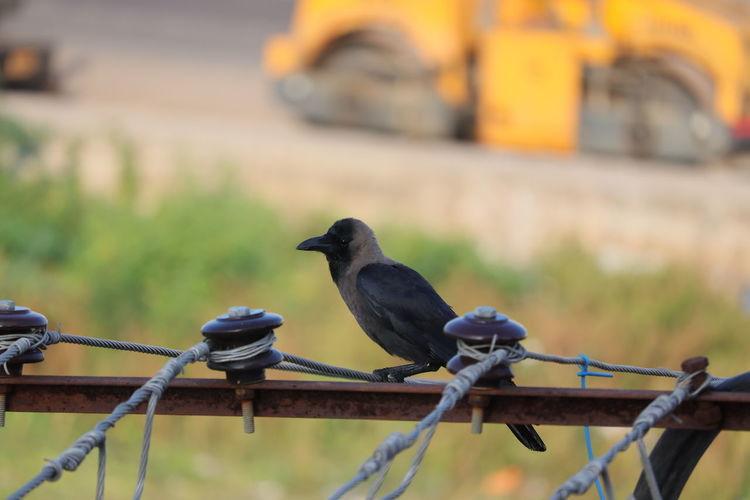 A black common crow bird perching on metal railing