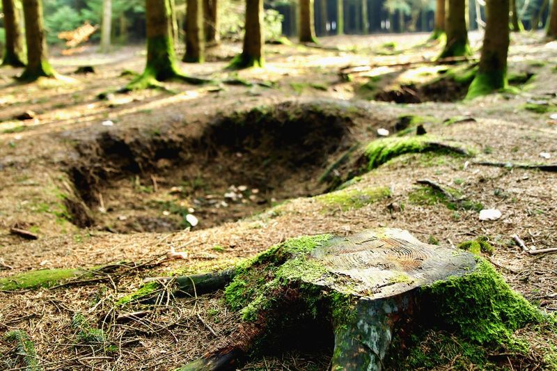 Holding the line circa 1944-45. Foxholes from the Battle of the Bulge. Bastogne, Belgium Holdtheline Sacrifice Easy Company Forest Belgium History Band Of Brothers World War 2 Day Nature Forest Sunlight Outdoors Tree Trunk