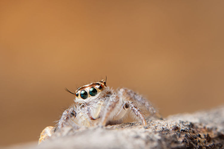 Spider on dry leaf Animal Animal Body Part Animal Eye Animal Head  Animal Themes Animal Wildlife Animals In The Wild Arachnid Arthropod Close-up Copy Space Insect Invertebrate Jumping Spider Macro Nature No People One Animal Portrait Selective Focus Spider