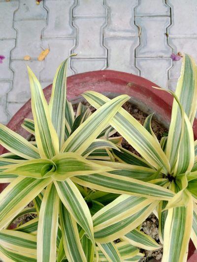 Plot the plant A Plant Plant Ssclix SSClicks SSClickPics SSClickpix Mobilephotography Ssclickx Herb Herbal Medicine Leaf Close-up Plant Green Color