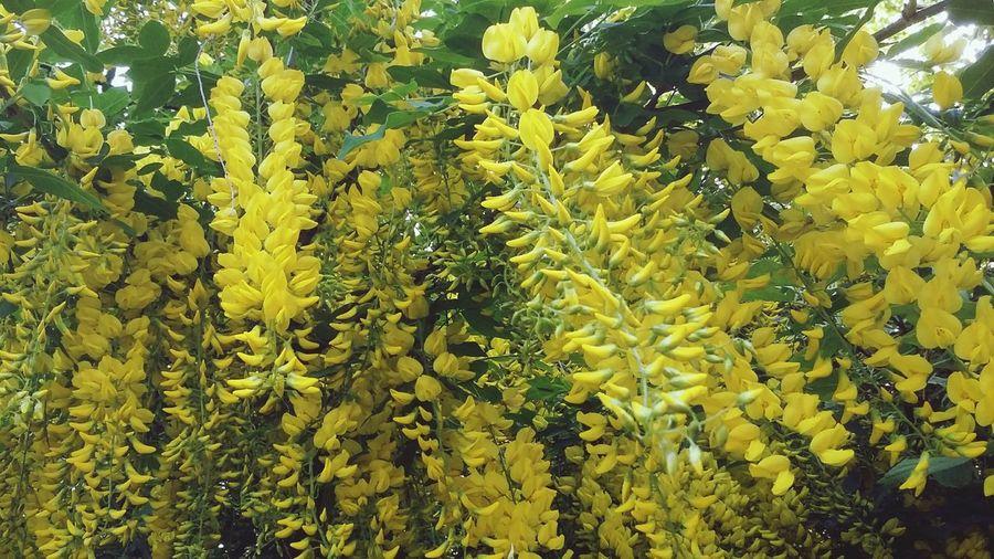 Flowers Yellow Yellow Flowers Abundance Springtime Tree Laburnum