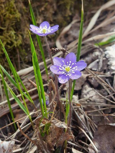 High angle view of purple crocus flowers on land