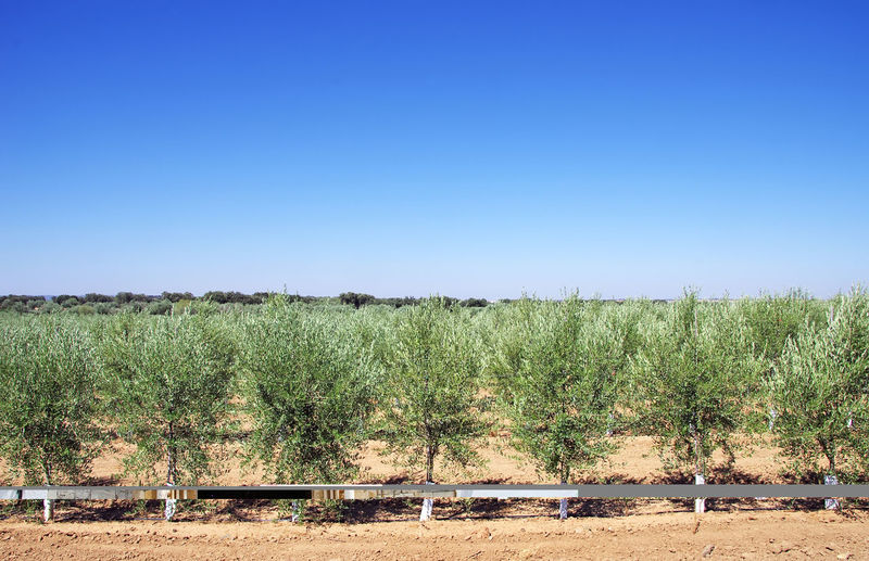 Scenic view of olive tree plantation against clear blue sky