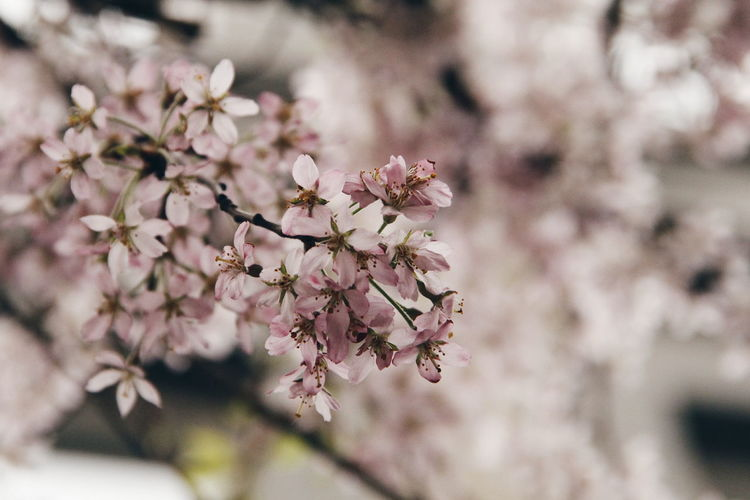 Spring Cherry Blossom Season  Blooming In Spring Blooming Tree Branch Tree Nature Pink Blur Park Outdoors Small Flowers Macro Tender Soft Focus