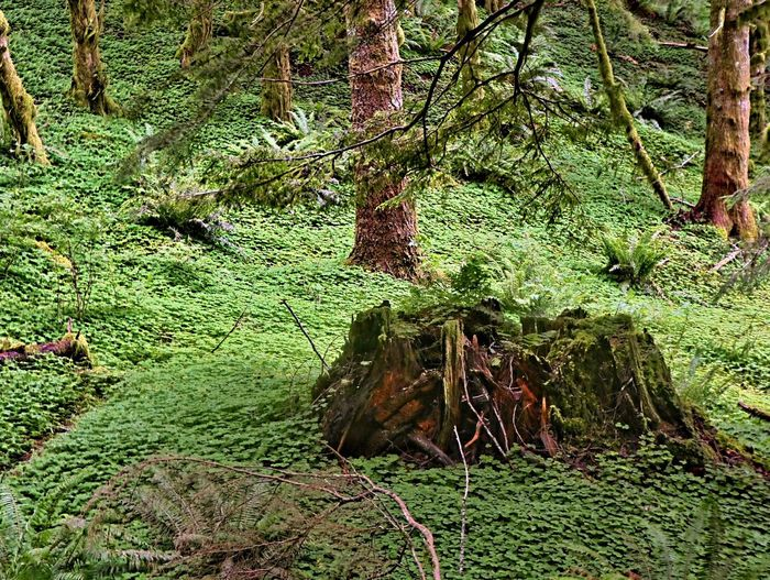 Forest Clover Wild Fern Clover Oregon WoodLand Forest Foliage, Vegetation, Plants, Green, Leaves, Leafage, Undergrowth, Underbrush, Plant Life, Flora Oregon Trees Tree Stump Plant Green Color Growth No People Day Full Frame Nature Beauty In Nature