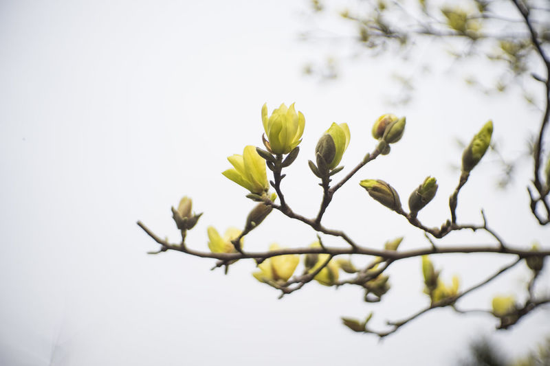 Yellow magnolia starting to bloom at Michigan State University, East Lansing, MI. April 2016. Beauty Beauty In Nature Botany Bud East Lansing Flower Flowers Focus On Foreground Growth Leaf Life Magnolia Magnolia Blossoms Nature Outdoors Spring Spring Time Yellow Magnolia
