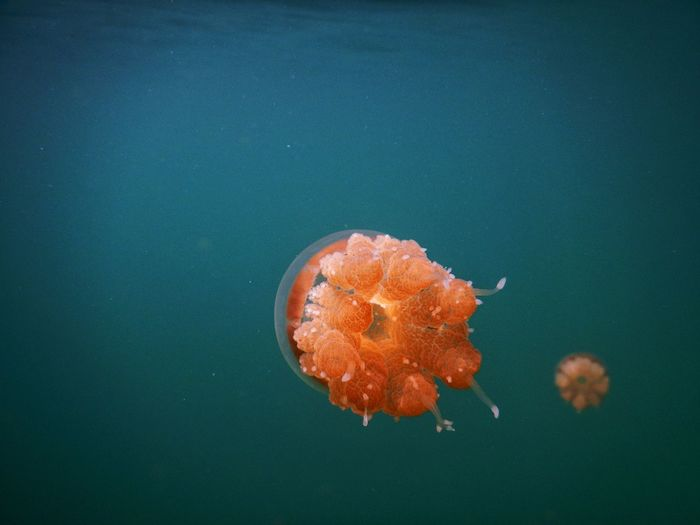 Close-up of orange jellyfish in sea