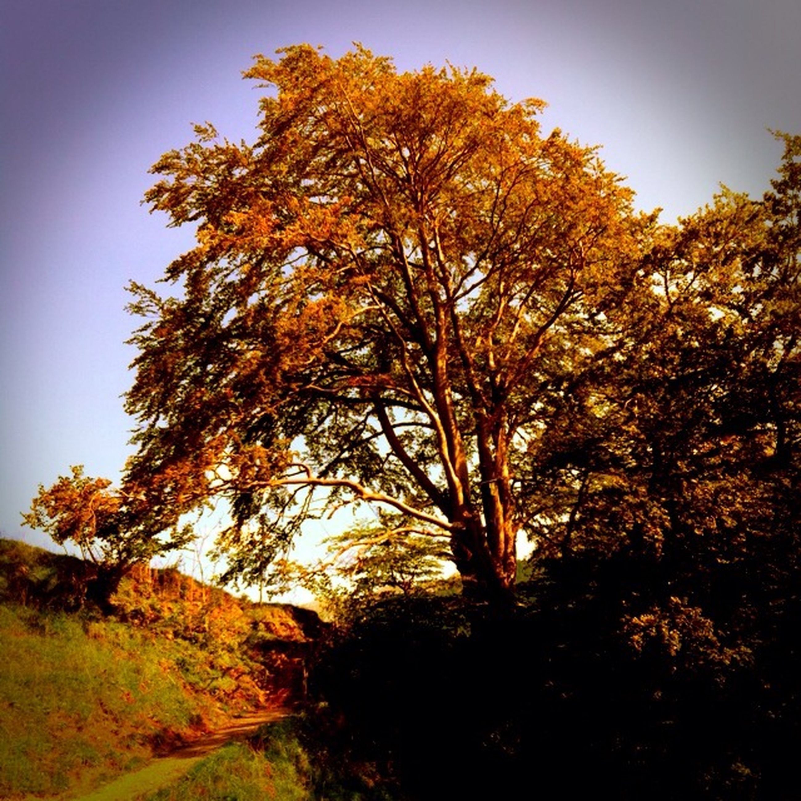 tree, autumn, tranquility, tranquil scene, change, clear sky, beauty in nature, nature, season, scenics, landscape, growth, orange color, field, non-urban scene, yellow, sunlight, branch, sky, outdoors