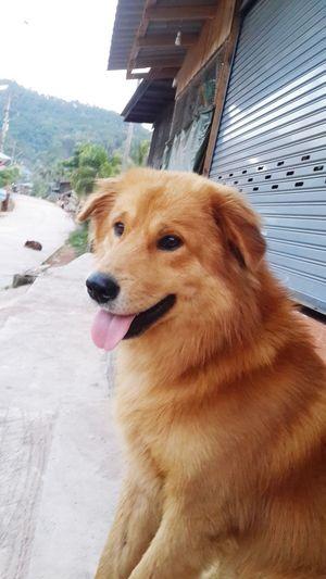 My dog Pets Sitting Golden Retriever Close-up