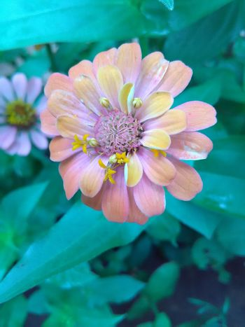 Flower Nature Petal Beauty In Nature Fragility Flower Head Freshness Focus On Foreground Close-up Plant Pink Color Outdoors Pollen Day No People Zinnia  Flower Collection Cute Flowers Nature Single Flower Multi Color Flowers Flowers In My Garden Flowers,Plants & Garden Flowerlovers Cute Flower