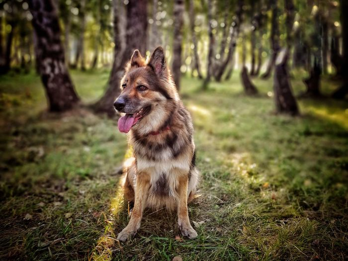 Dog One Animal Pets Grass German Shepherd Animal Themes Sticking Out Tongue Domestic Animals Nature Tree Outdoors Forest Day