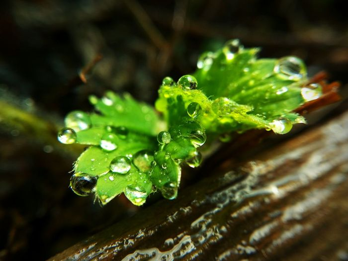Leaf Nature Green Color Freshness Water Drops Waterdrops Growth Outdoors Beauty In Nature Close-up Day Plant Strawberry LeTv X600 LeEco Green Green Color After The Rain Macro