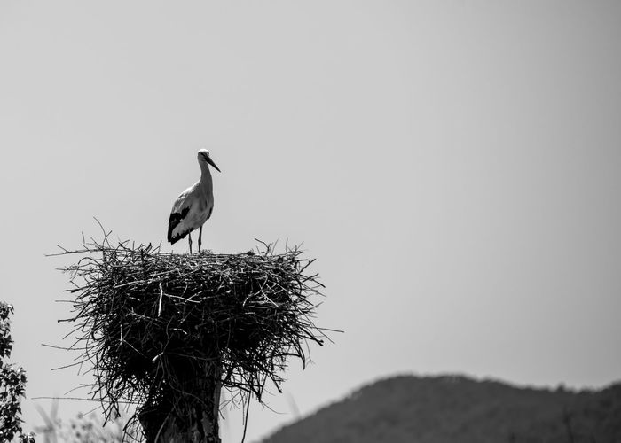 Blackandwhite Black And White Black&white Bird Birds Horizon Animal Wildlife Vertebrate Animal Themes Animals In The Wild Animal One Animal Perching Sky Clear Sky Nature No People Day Copy Space Tree Focus On Foreground Low Angle View Outdoors Plant Animal Nest Stork Windturbines Mountain