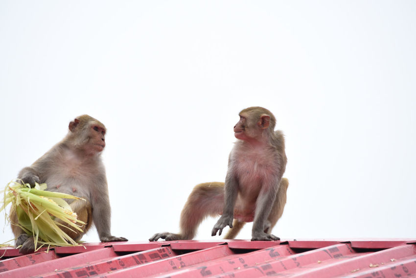 monkeys fighting over food Animal Animal Themes No People Animals In The Wild Mammal Animal Wildlife Monkey Stealing Food Monkey Living In A City In The City Animal Body Part Two Monkey Sitting On A Roof Animal Photography Monkey Thief Monkeys Wildlife Photography Animals In The City Urban Animals City Monkey Monkey Eating Animals In The Wild