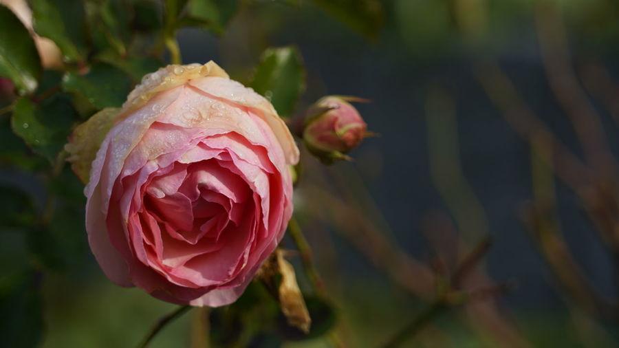 last rose Last