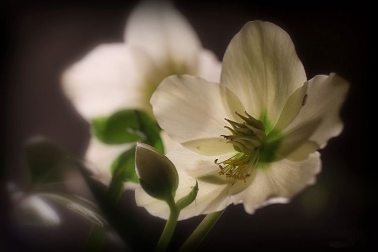hellebores EyeEm Best Shots EyeEm Nature Lover Eye4photography  EyeEm Gallery EyeEm Selects EyeEmBestPics EyeEm Best Shots - Nature Hellebores Background Beauty In Nature Black Background Blooming Blossom Close-up Day Flower Flower Head Flowers, Nature And Beauty Flowers Collection  Fragility Freshness Growth Light And Shadow Llight Nature No People Outdoors Petal Plant Stamen Stamen Of The Flower White Color