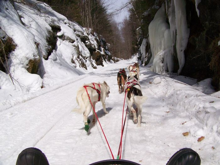 Sled Dogs On Snow Covered Landscape