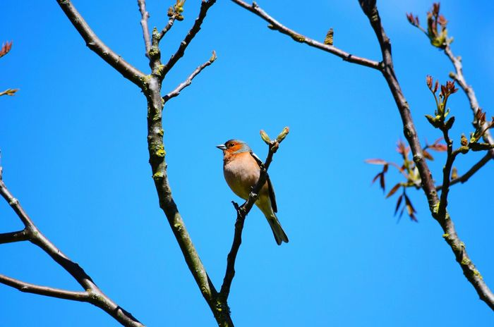 Bird Animals In The Wild Perching Branch Beauty In Nature Nature Animal Animal Themes Clear Sky Oiseau Printemps Garden Jardin Blue Sky Bleu Blue Rouge Red Color Pinson Des Arbres