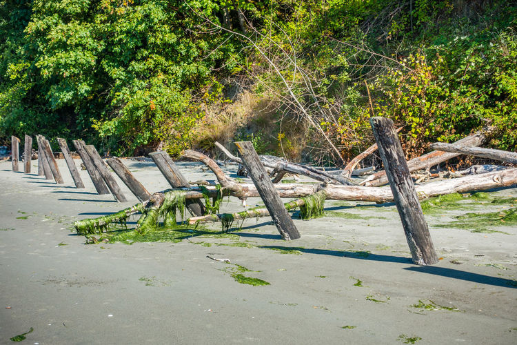 Old pilings line the beach at Dash Point, Washington. Beauty In Nature Dash Point Day Driftwood Forest Green Color Growth Land Log Nature No People Outdoors Pilings Plant Timber Tranquil Scene Tranquility Tree Tree Trunk Trunk Water Wood Wood - Material Wooden