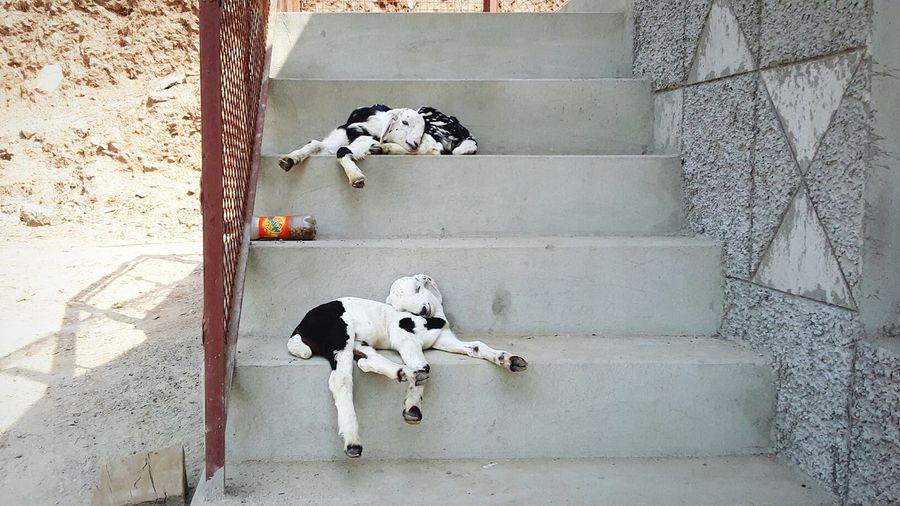 Goats sleeping on steps
