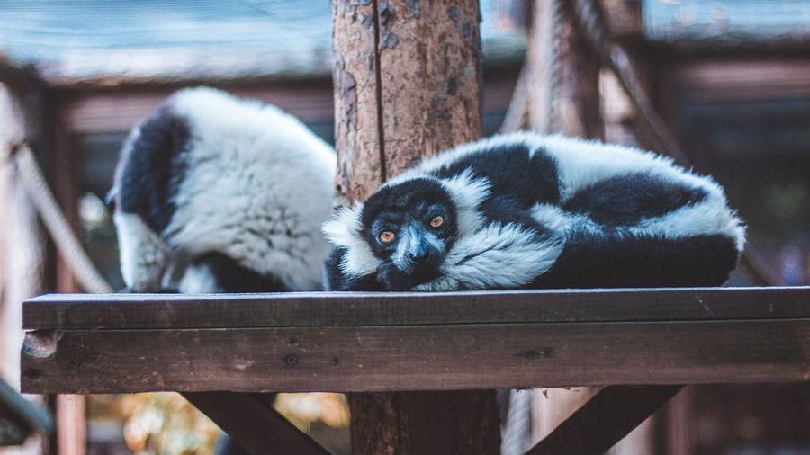 Lemur Cute