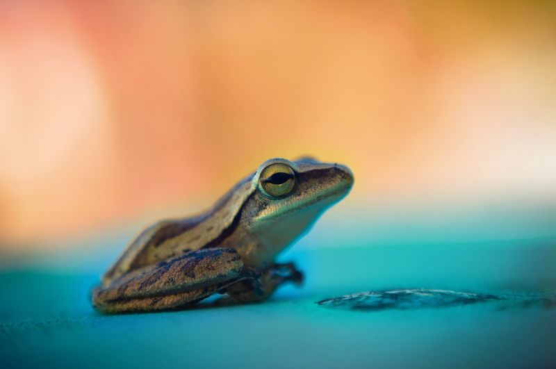 Close-Up Of Frog On Turquoise Surface