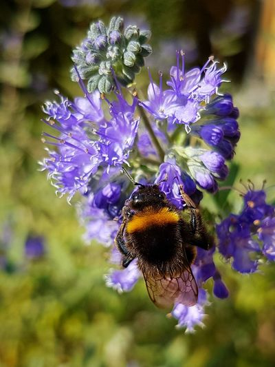 #Eyes #eye #green #hungary Animal Themes Animals In The Wild Beauty In Nature Bee Blooming Bumblebee Buzzing Close-up Flower Flower Head Focus On Foreground Freshness Insect Nature No People One Animal Outdoors Petal Plant Pollination Purple