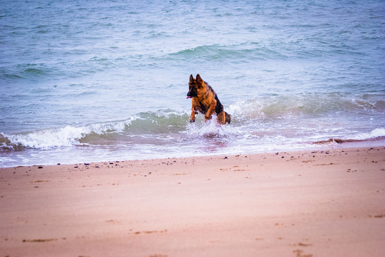 Animal Themes Animals Beach Beauty In Nature Day Domestic Animals German Shepherd Luxmom Luxmom Nature Mammal Nature One Animal Sand Sea Shepherd Shore Water Wave Photography In Motion