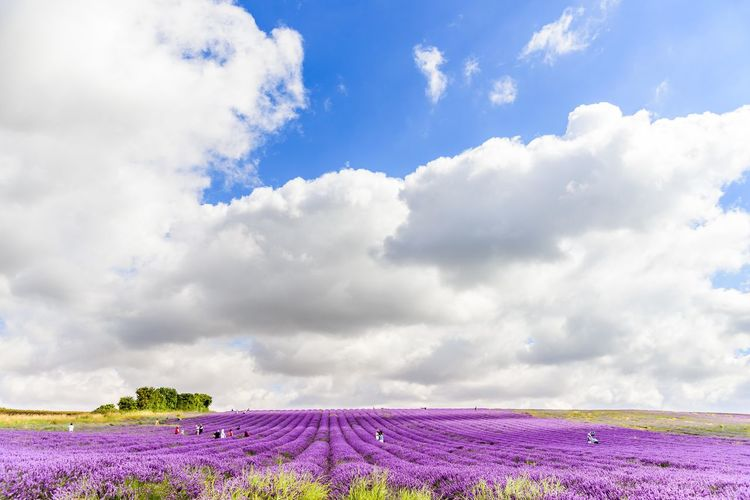 Agriculture Beauty In Nature Cloud - Sky Day Field Flower Fragility Freshness Growth Landscape Lavender Lavender Field Nature No People Outdoors Plant Purple Rural Scene Scenics Sky Tranquil Scene Tranquility Lost In The Landscape
