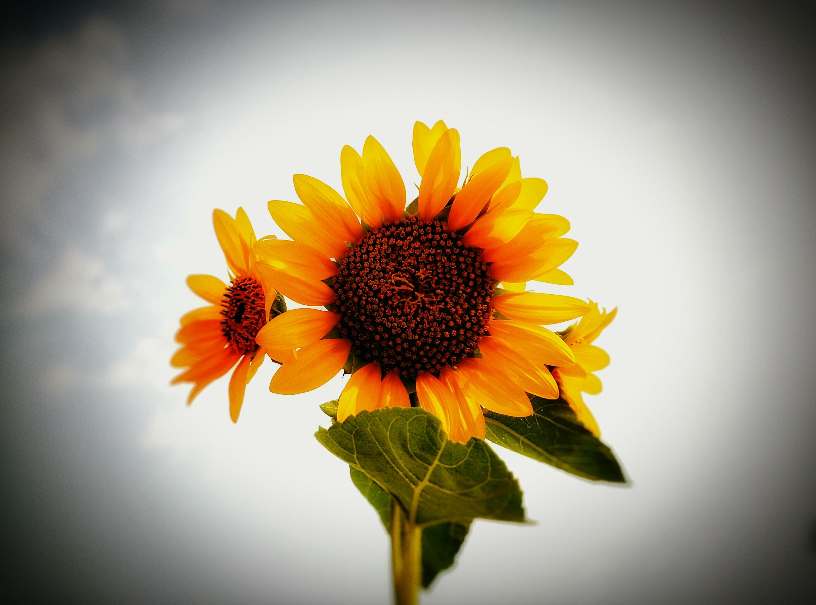 flower, petal, flower head, freshness, fragility, yellow, sunflower, pollen, beauty in nature, growth, single flower, close-up, blooming, nature, plant, in bloom, sky, blossom, leaf, botany