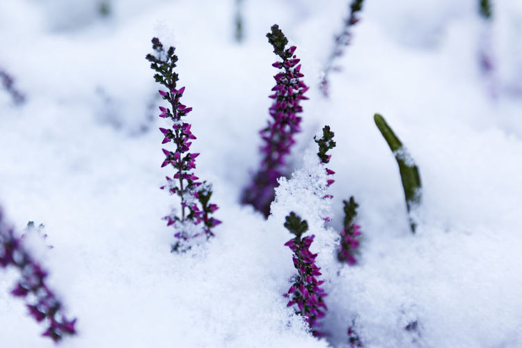 Pink little flowers emerging from the snow