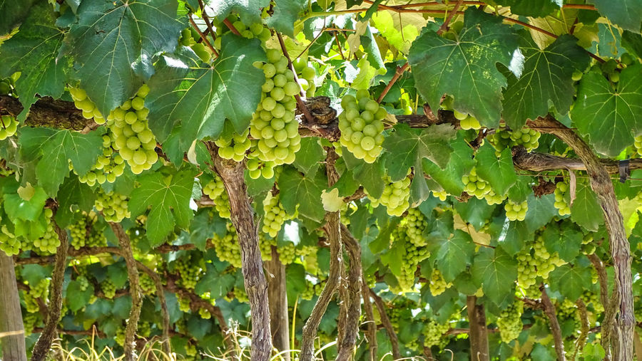 ezefer Leaf Plant Part Plant Growth Green Color Nature Day Tree Beauty In Nature No People Close-up Animals In The Wild Animal Wildlife Outdoors Invertebrate Food And Drink Food Insect Animal Themes Animal Leaves Jundiaí Winery Vineyard Grapes Grape